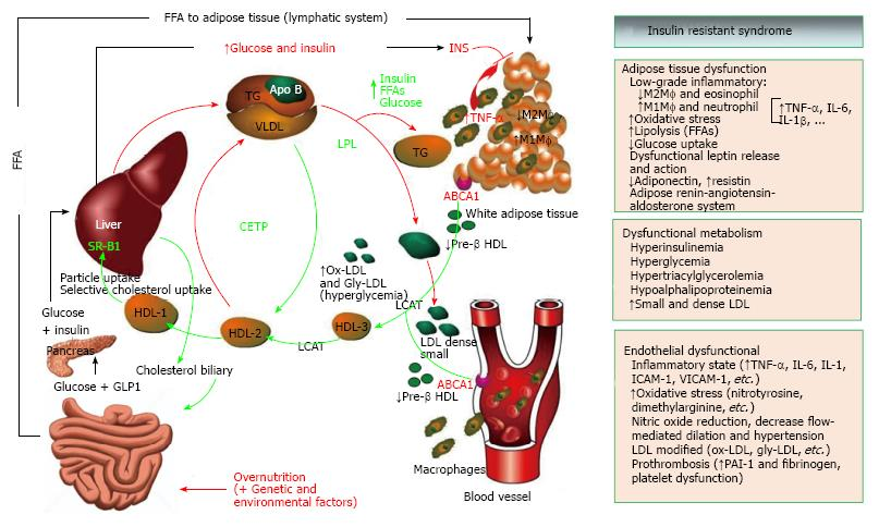 Nutrition Insulin Resistance And Dysfunctional Adipose Tissue
