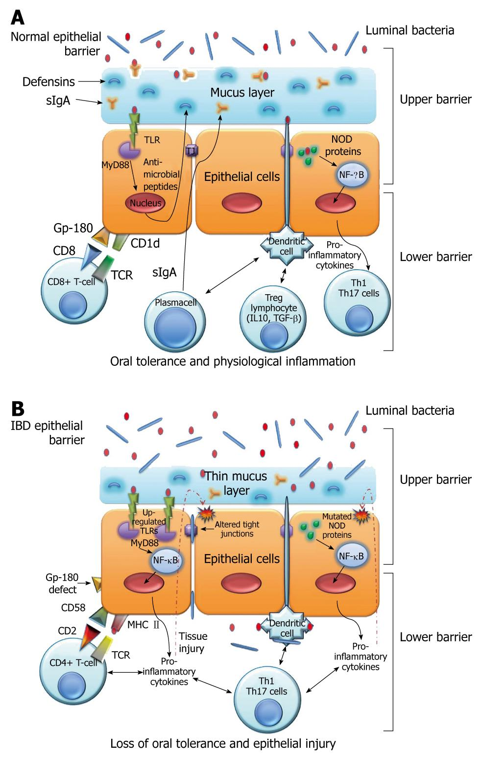 Intestinal Epithelial Cells In Inflammatory Bowel Diseases