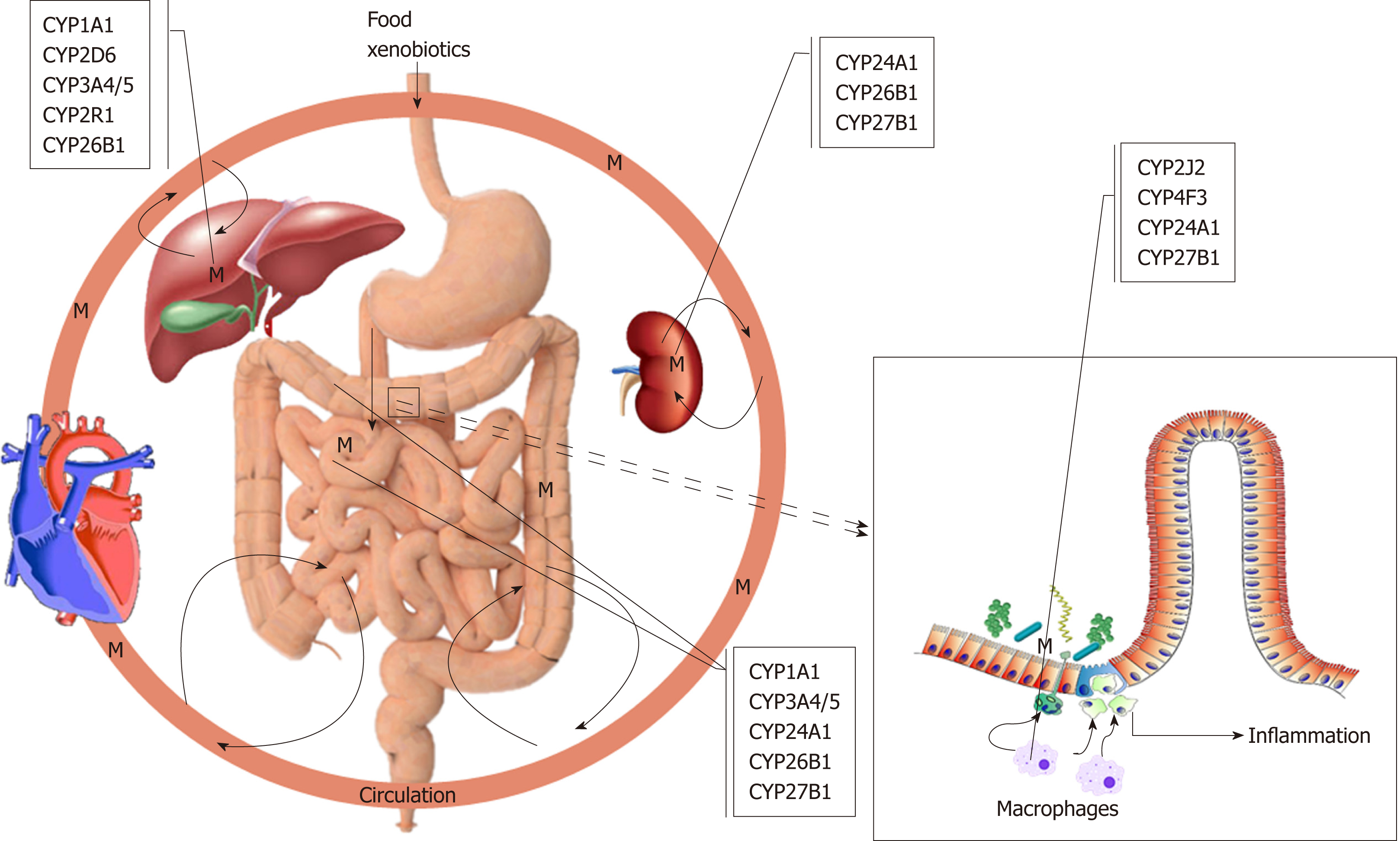 figure 1 overview the role of cytochromes p450s in ulcerative colitis  m:  metabolites