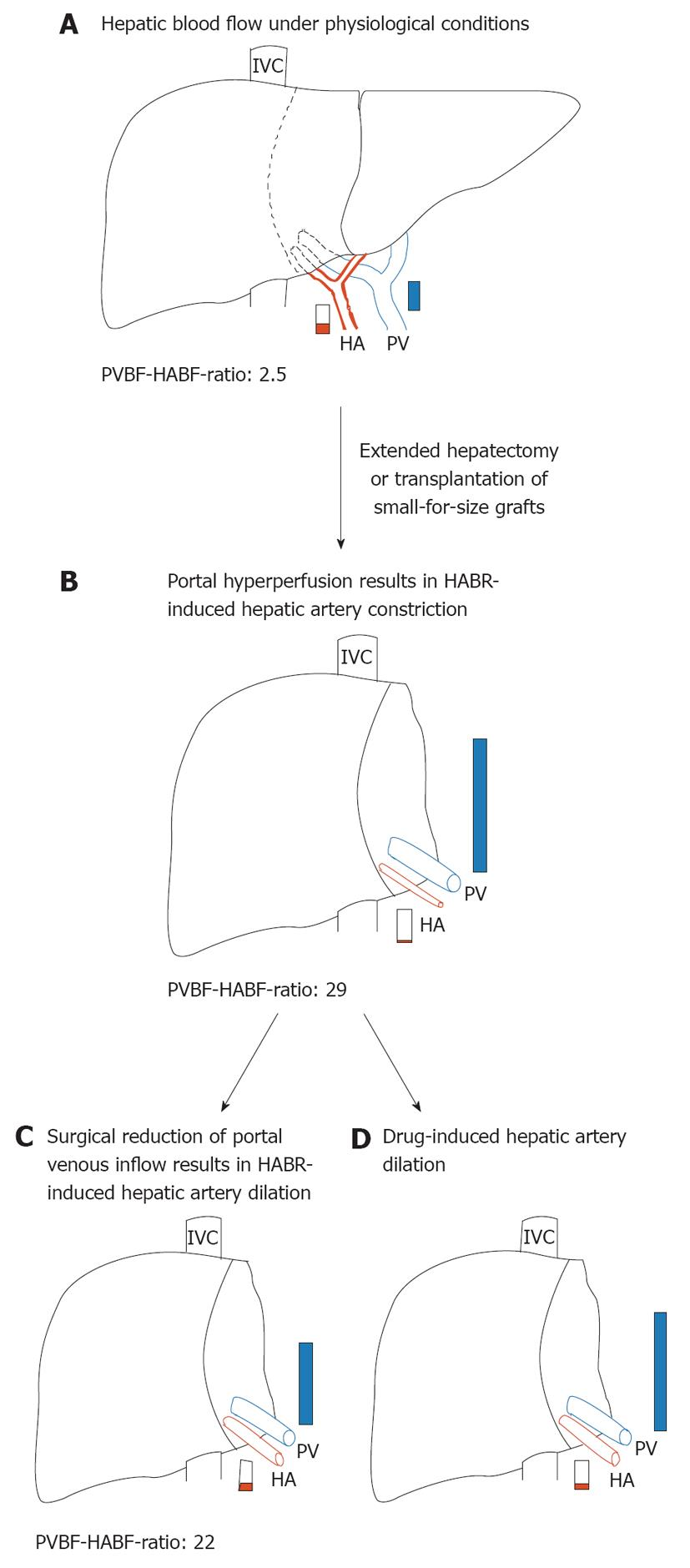 Regulation of hepatic blood flow the hepatic arterial buffer a preoperative hepatic blood flow in a donor liver or before extended hepatectomy representing a normal portal vein blood flow hepatic artery blood geenschuldenfo Images