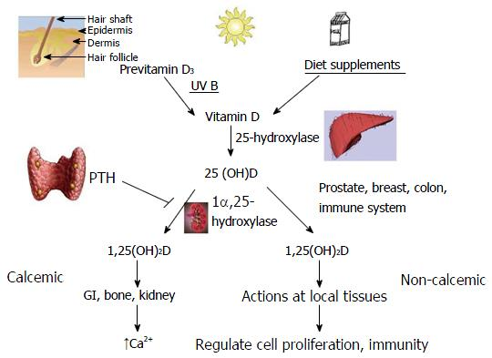 Influence Of Vitamin D On Liver Fibrosis In Chronic Hepatitis C A
