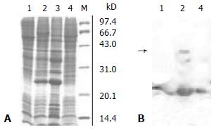In vitro assay for HCV serine proteinase expressed in insect