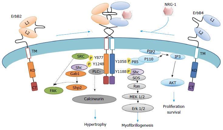 ligand binding domain of steroid hormone receptors
