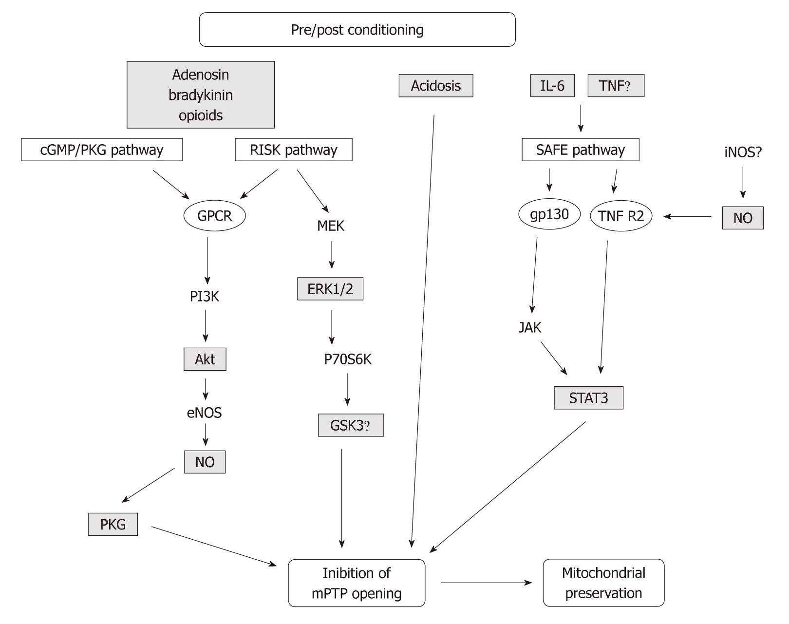 Ischemiareperfusion injury and cardioprotective mechanisms role figure 2 flowchart depicting the main factors involved in cardioprotective pathways triggered by pre and postconditioning activation of cell surface nvjuhfo Choice Image