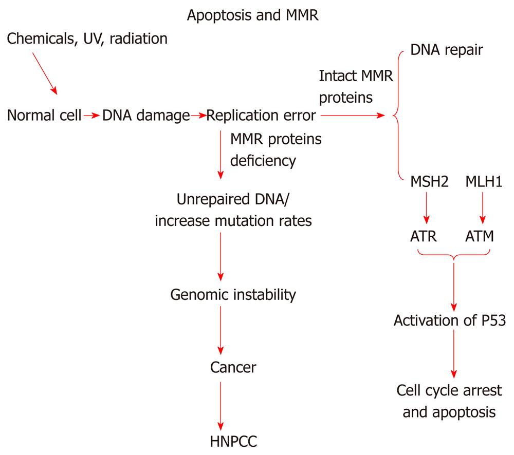 Molecular Signaling Mechanisms Of Apoptosis In Hereditary Non Polyposis Colorectal Cancer