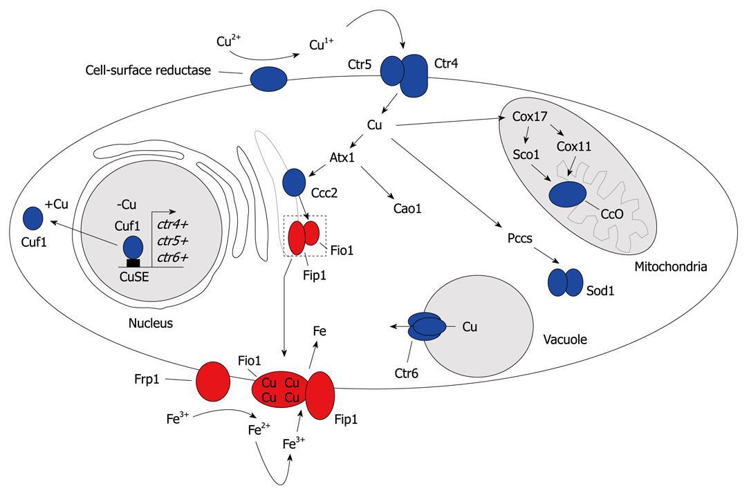 Simon Labbeacutersquos Work On Iron And Copper Homeostasis