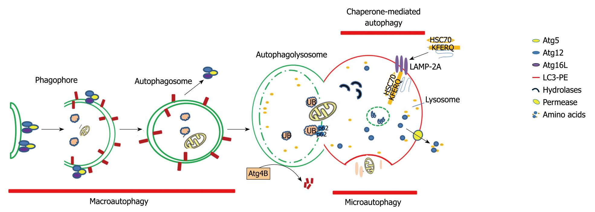 Role Of Autophagy In Liver Physiology And Pathophysiology