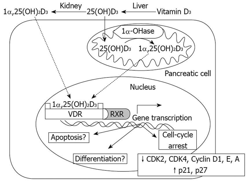 Pancreatic cancer vitamin d,