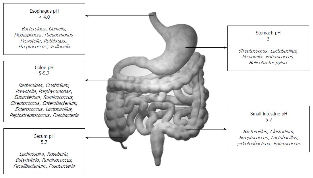 role of the normal gut microbiota