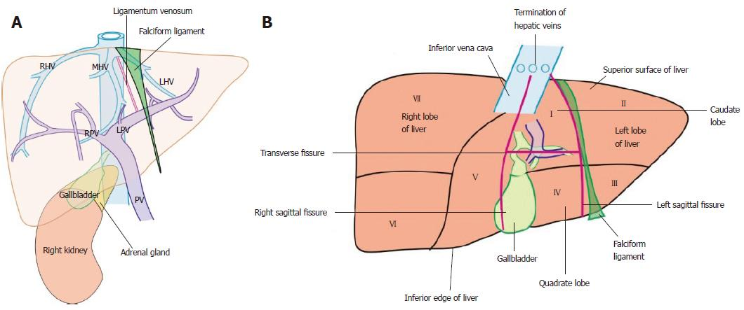 Stepwise Evaluation Of Liver Sectors And Liver Segments By