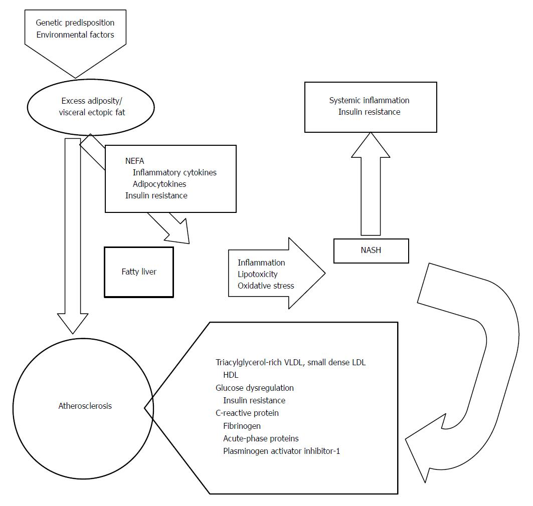 Nonalcoholic fatty liver disease and vascular disease state of the art figure 2 mechanisms potentially responsible for atherosclerosis in nonalcoholic fatty liver disease and nonalcoholic steatohepatitis ccuart Gallery