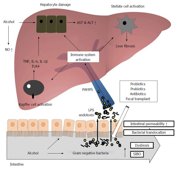 Microbiota Based Treatments In Alcoholic Liver Disease