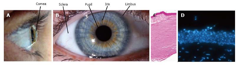 Limbal Stem Cells Central Concepts Of Corneal Epithelial Homeostasis