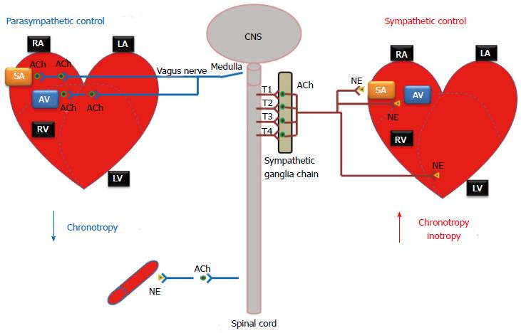 Autonomic And Endocrine Control Of Cardiovascular Function
