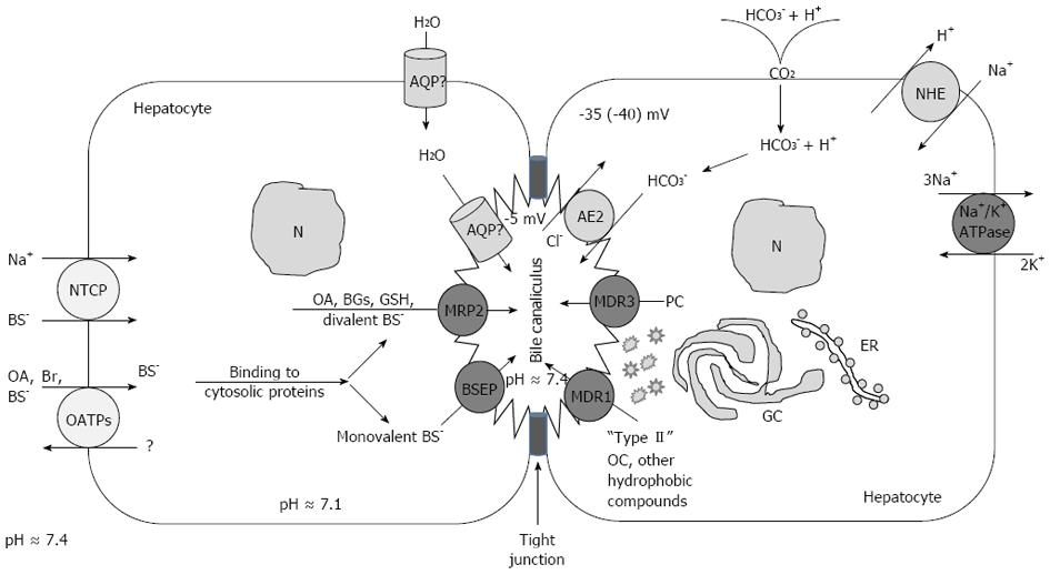 Physiological And Molecular Biochemical Mechanisms Of Bile Formation