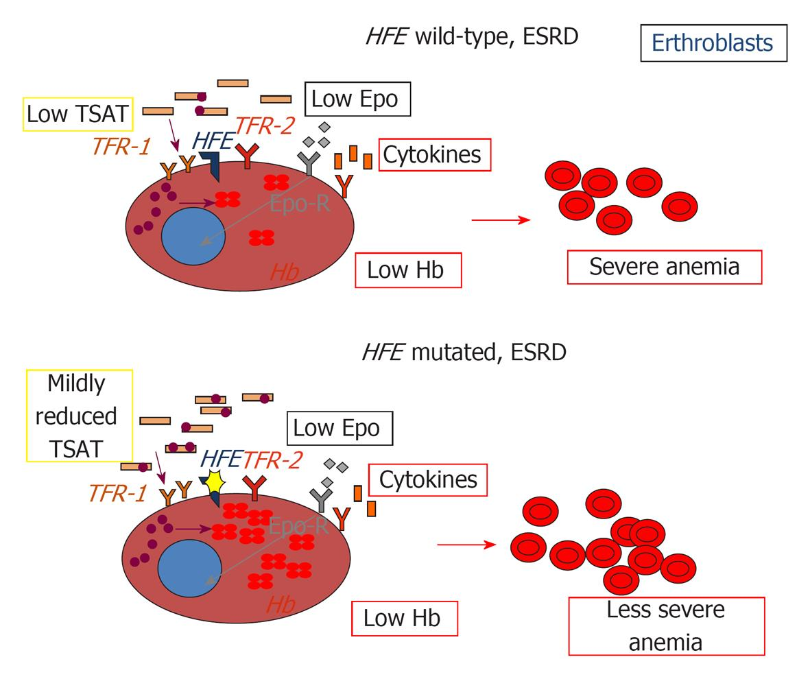 figure 2 impact of hfe mutations on erythropoiesis in chronic kidney disease epo erythropoietin epo r erythropoietin receptor tfr1 transferrin - Pooldesignideen Fr Kleine Hfe
