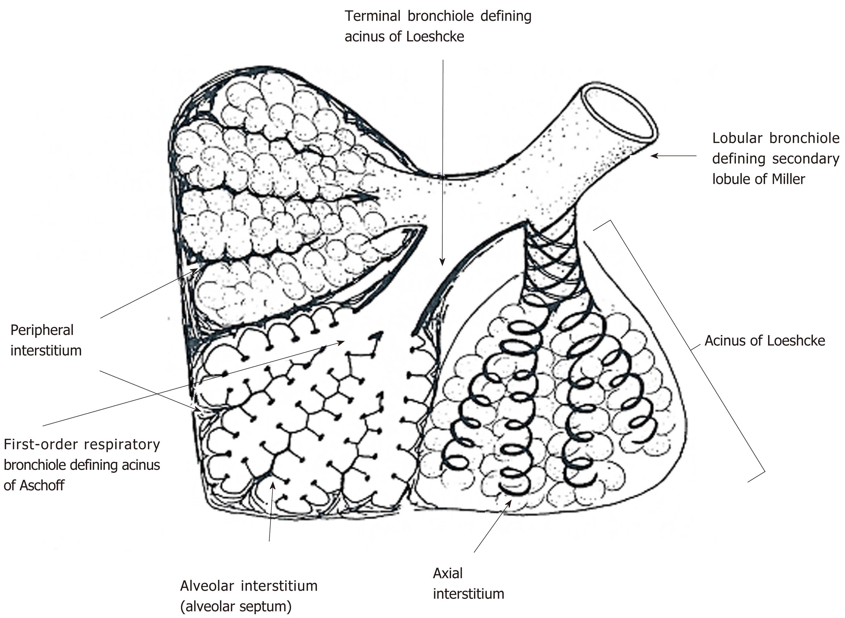 Anatomical Backgrounds On Gas Exchange Parameters In The Lung