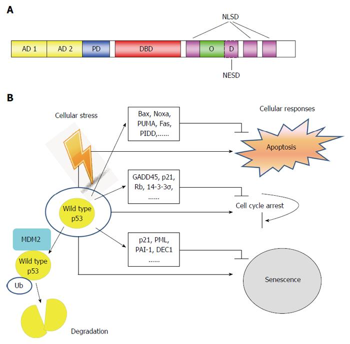 Analiza imunohistochimica a P53 in cancerele colorectale