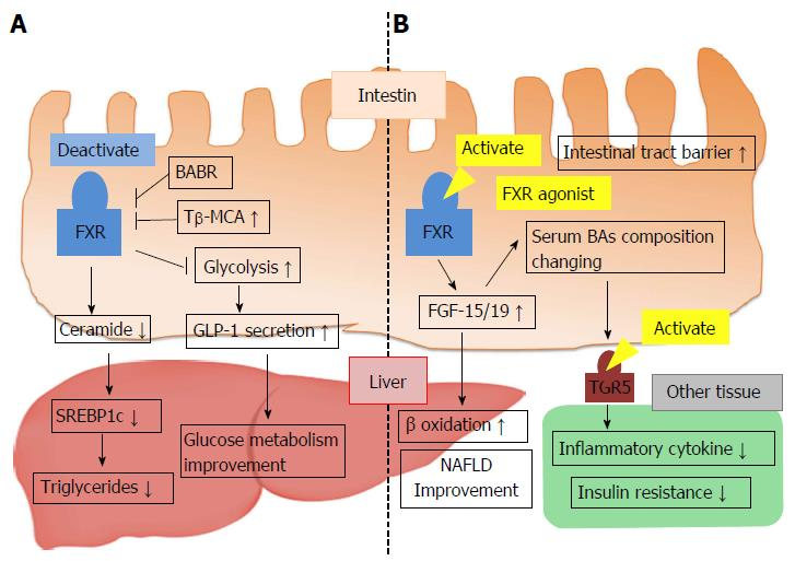 Role of bile acids in the regulation of the metabolic pathways
