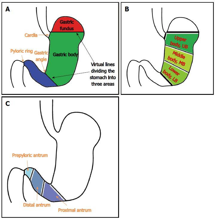 Technical skills and training of upper gastrointestinal endoscopy figure 17 intubation from stomach to duodenal bulb a schematic diagram of the anatomy of the stomach based on the landmarks the stomach is divided into ccuart Image collections