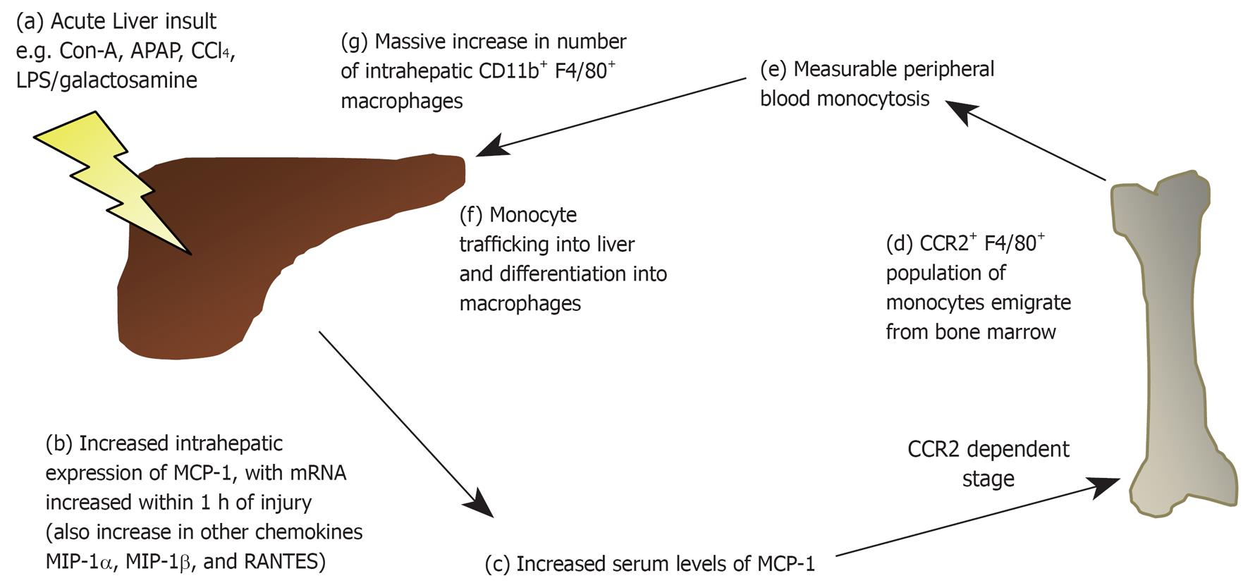 Role Of Monocytes And Macrophages In Experimental And Human Acute