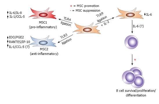 Mesenchymal Stem Cells Emerging Mechanisms Of