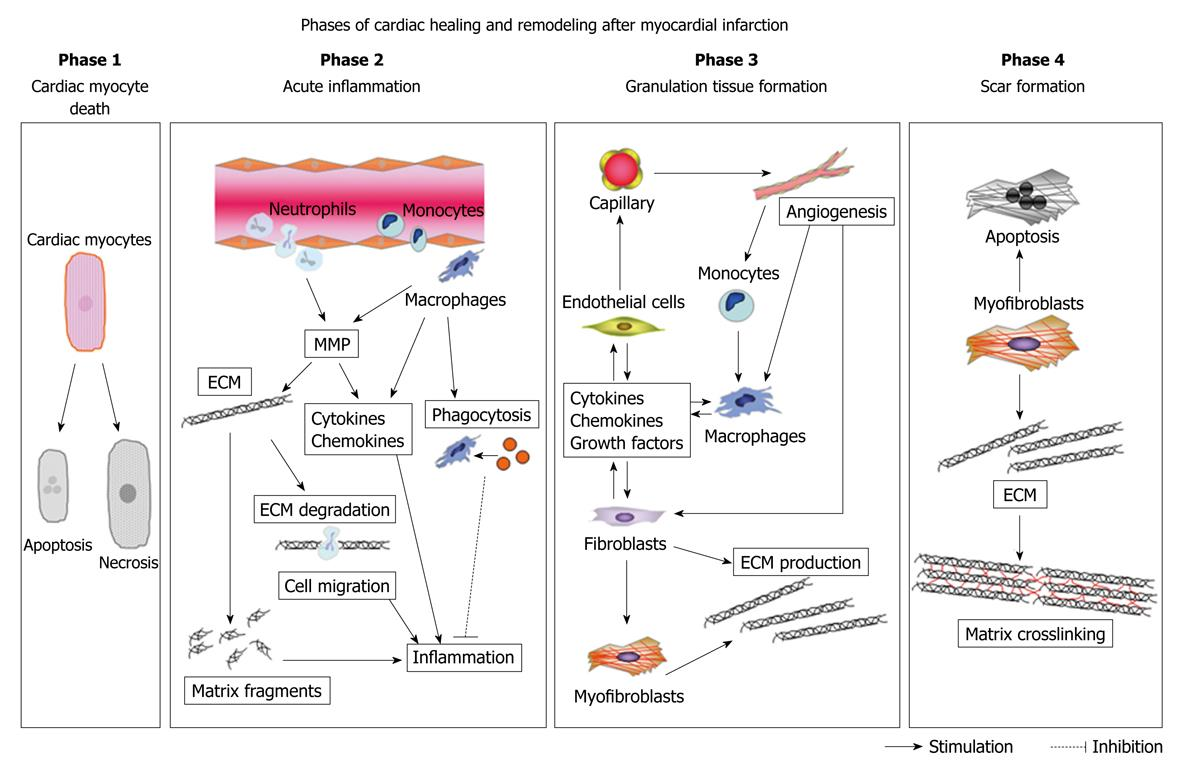 Role Of Matricellular Proteins In Cardiac Tissue