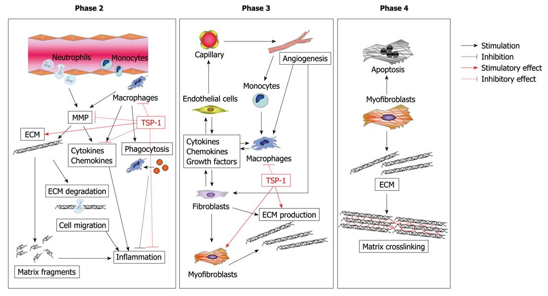 Role Of Matricellular Proteins In Cardiac Tissue Remodeling