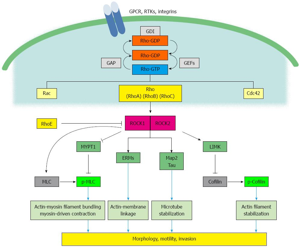 Rho/ROCK signaling in motility and metastasis of gastric ...