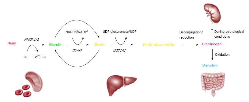 Bilirubin In Coronary Artery Disease Cytotoxic Or Protective