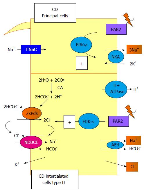 New insights into sodium transport regulation in the distal nephron figure 3 ccuart Choice Image