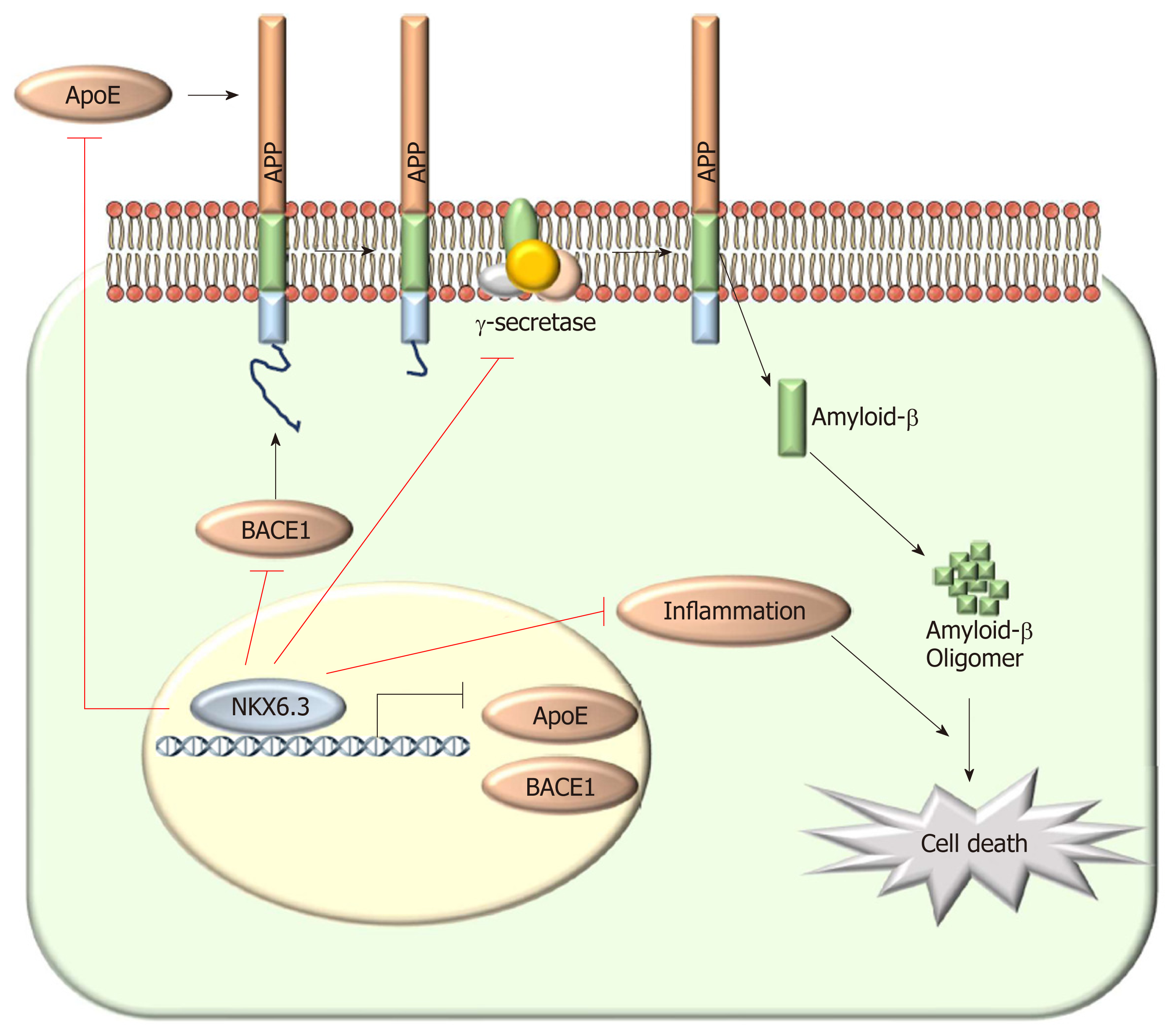 nkx6 3 protects against gastric mucosal atrophy by downregulating βfigure 6 schematic model of the role of nkx6 3 in gastric mucosal atrophy in gastric mucosal cells, nkx6 3 prevents gastric mucosal atrophy by regulating