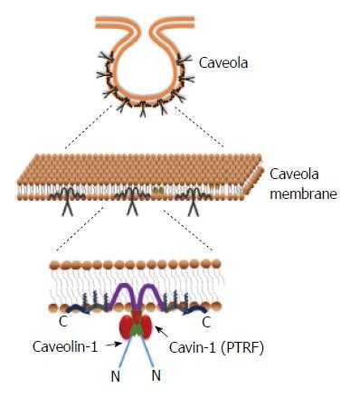 Caveolae, caveolin-1 and cavin-1: Emerging roles in