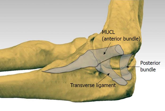 Understanding The Medial Ulnar Collateral Ligament Of The Elbow